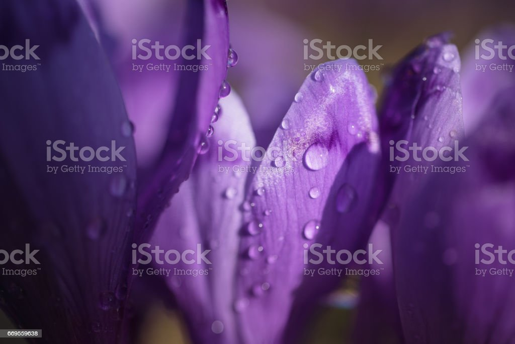 Purple crocuses on a meadow at sunny spring day. Macro photo of dew drops on petals of purple crocus flowers. Card for Mothers day stock photo