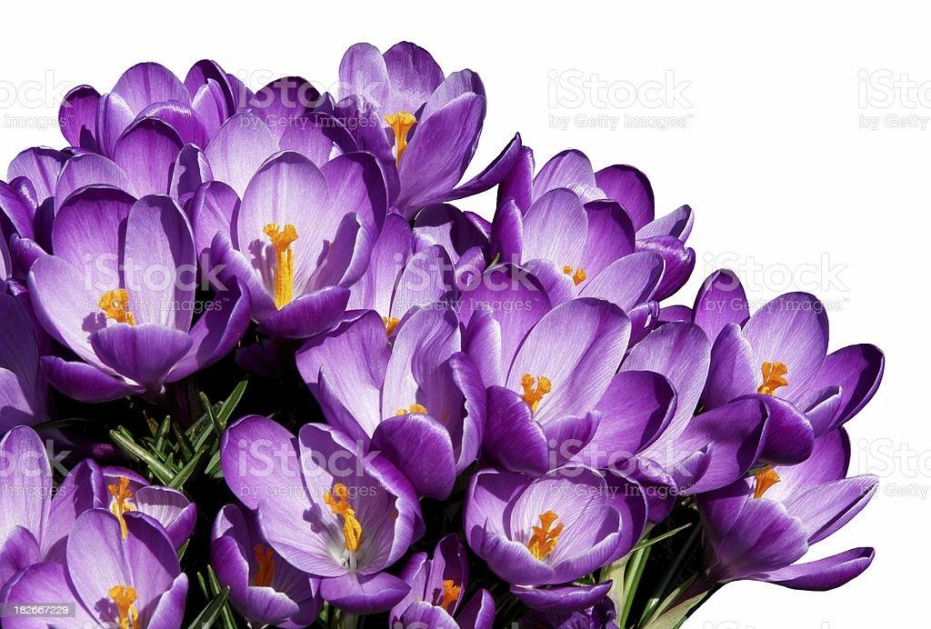 Purple Crocuses On White Background royalty-free stock photo