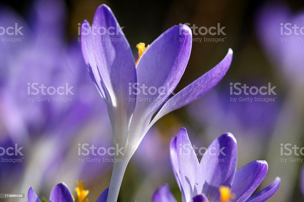 Purple crocuses royalty-free stock photo