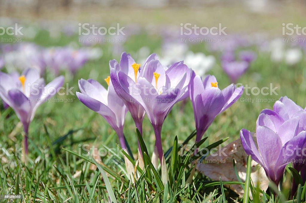 Purple crocuses. stock photo