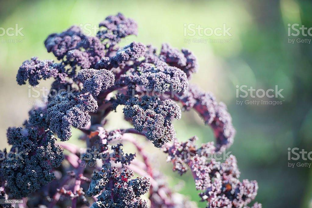 Purple Curly Kale stock photo