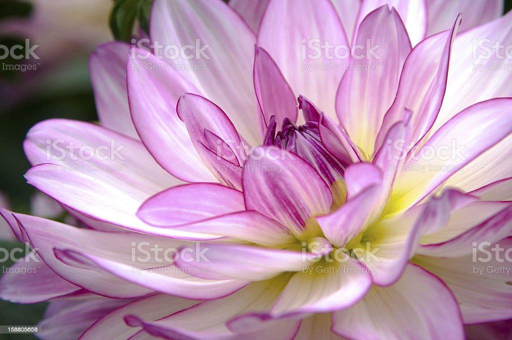 Purple Dahlia Flower Close-Up royalty-free stock photo