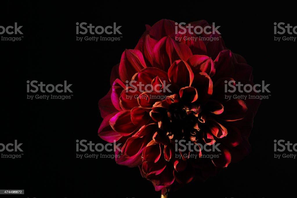 Purple dahlias flower on black background. stock photo