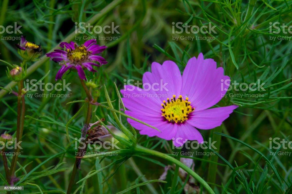 Purple daisies and grassland stock photo