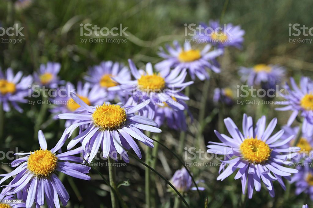 Purple daisies royalty-free stock photo