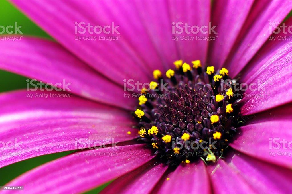 Purple Daisy Flower stock photo