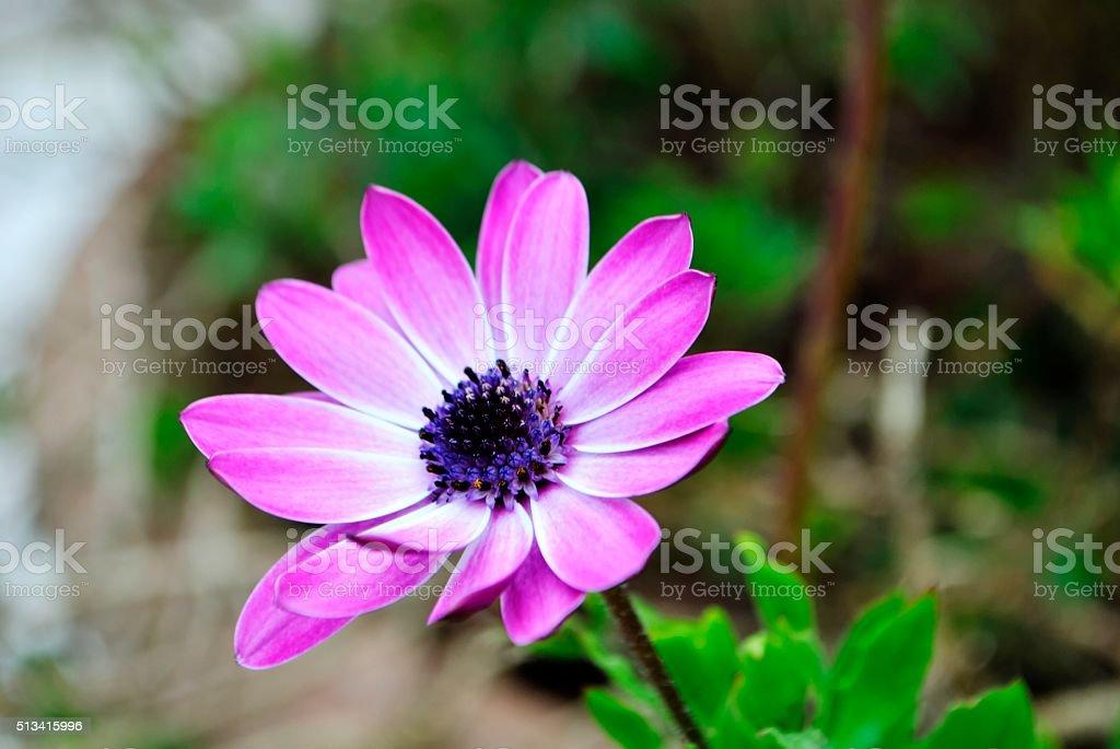 Fioletowe kwiaty Stokrotka. zbiór zdjęć royalty-free