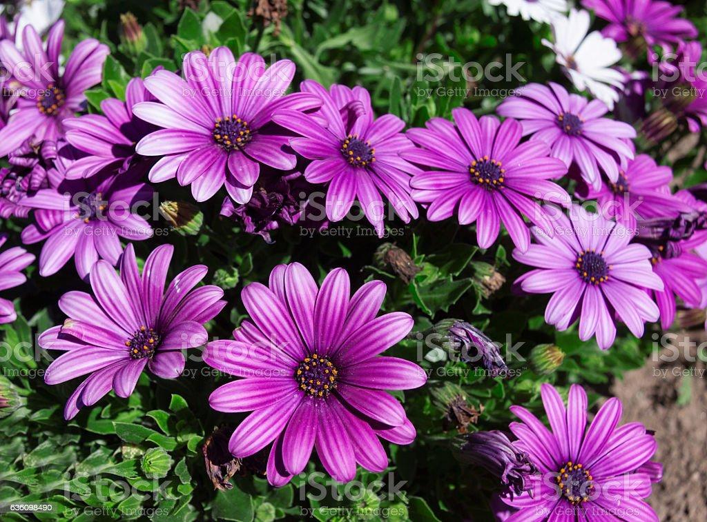 Purple daisy flower (Osteospermum ) stock photo