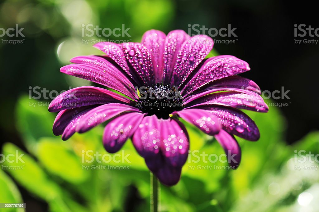Purple daisy flower with dew drops stock photo