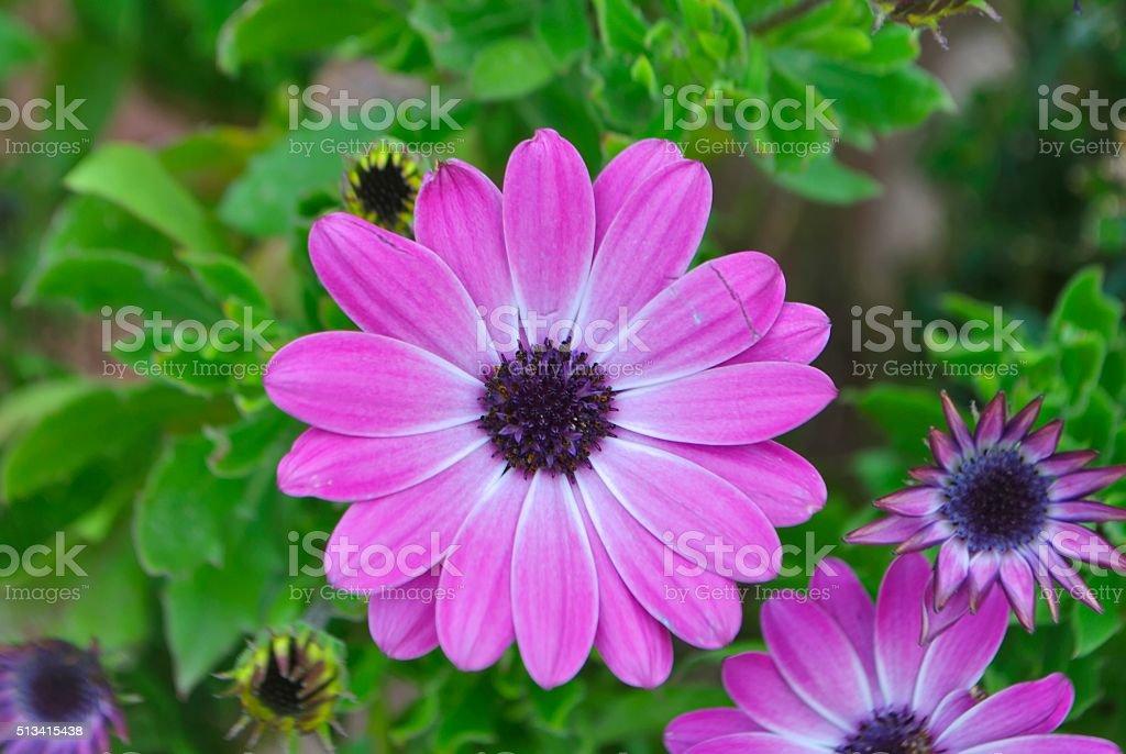 Purple Daisy flowers. stock photo