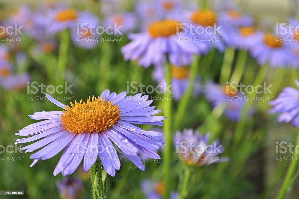 Purple daisy (marguerite) w ogrodzie zbiór zdjęć royalty-free