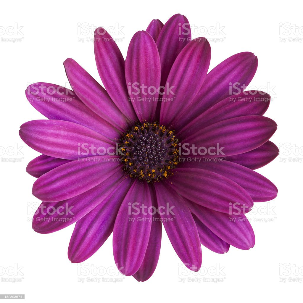 Purple daisy on white background royalty-free stock photo