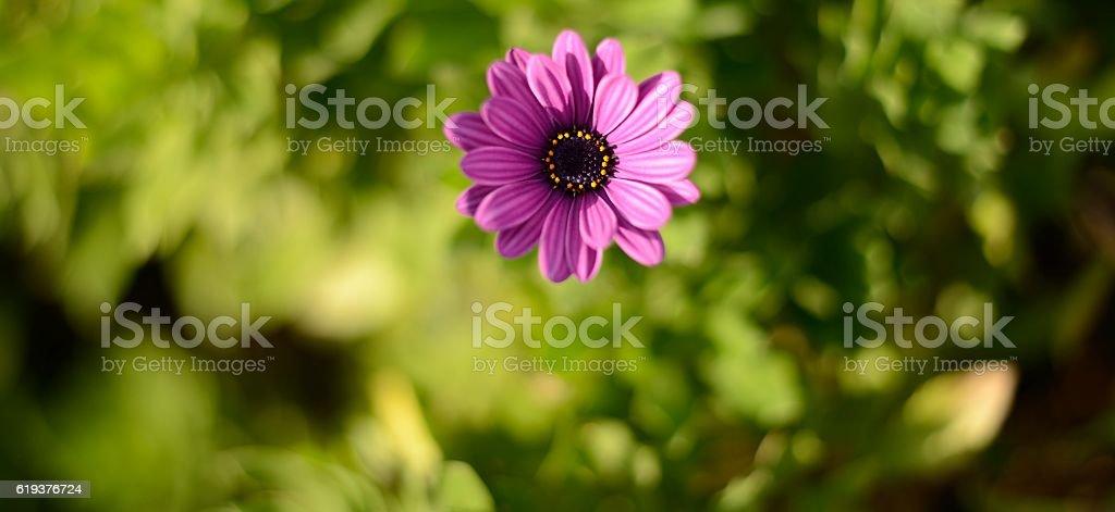 purple daisy panorama stock photo
