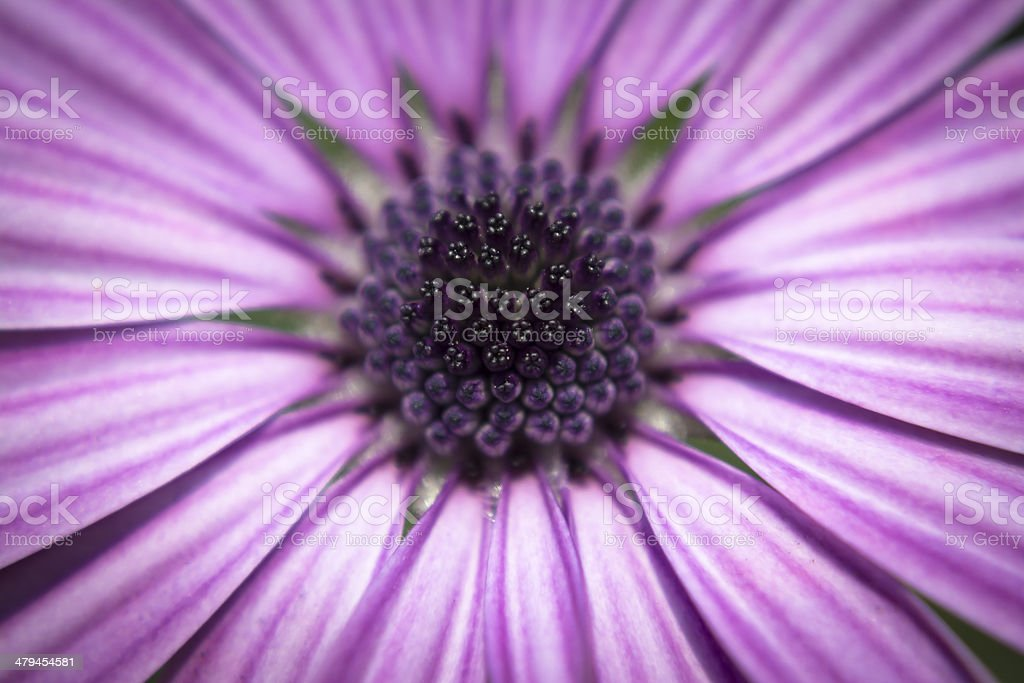 Purple Daisy stock photo