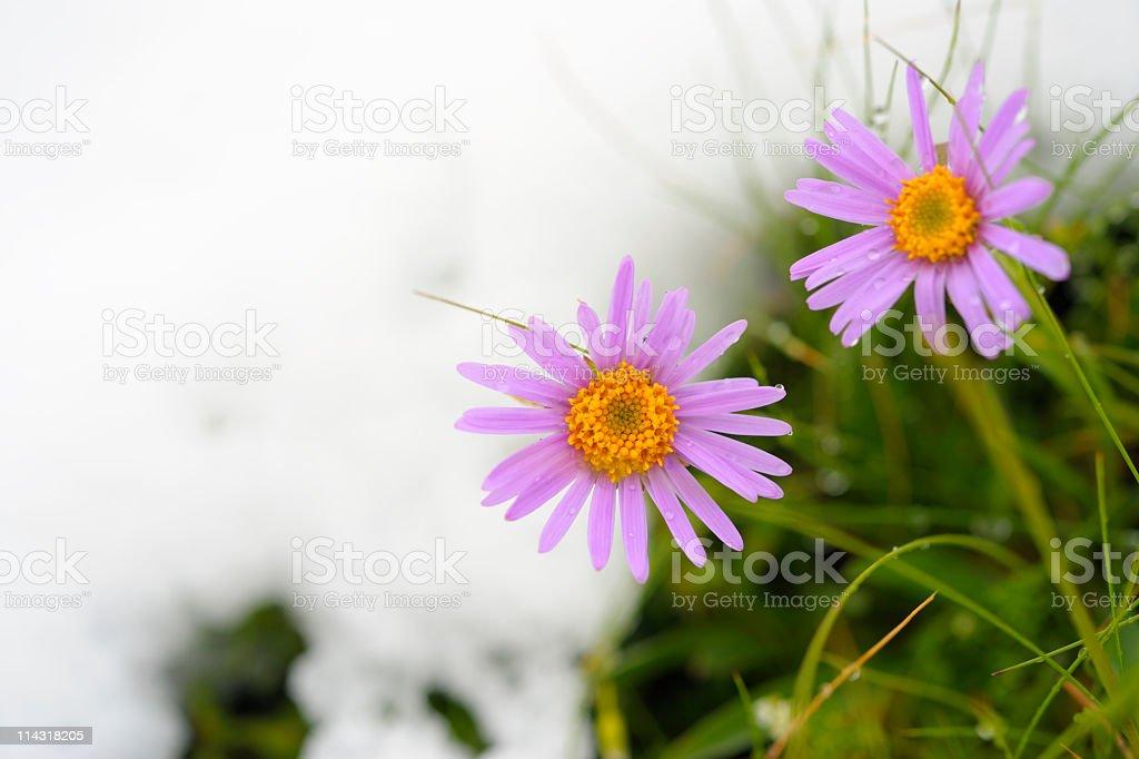 Purple Daisy Wildflower in Spring Snow royalty-free stock photo