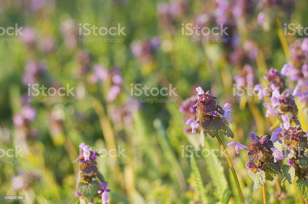 Purple martwe Nettle (Lamium purpureum) zbiór zdjęć royalty-free