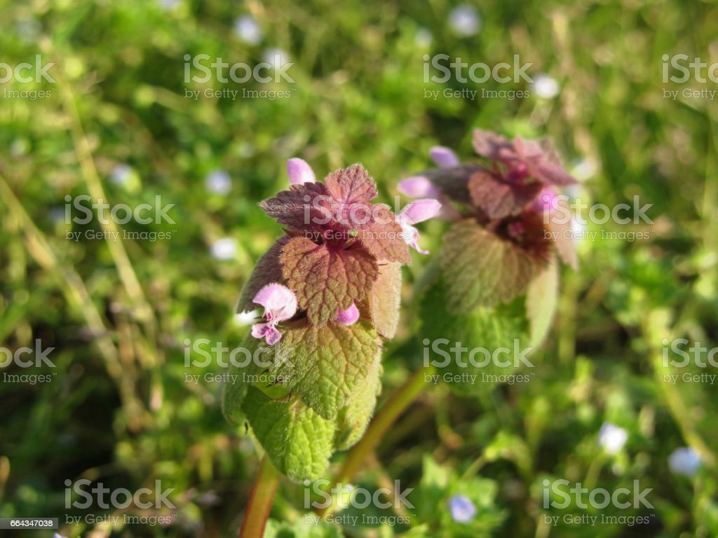 Purple Dead-nettle ( Lamium purpureum ) on green background stock photo