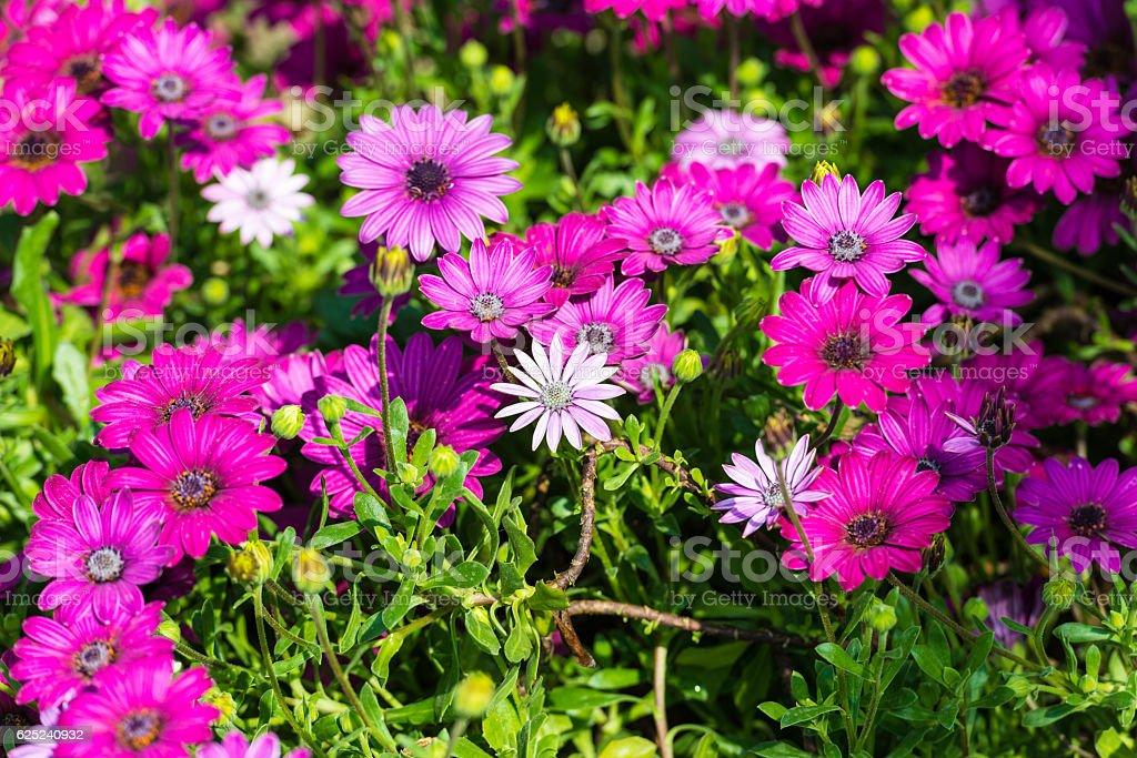 Purple Dimorphotheca zbiór zdjęć royalty-free