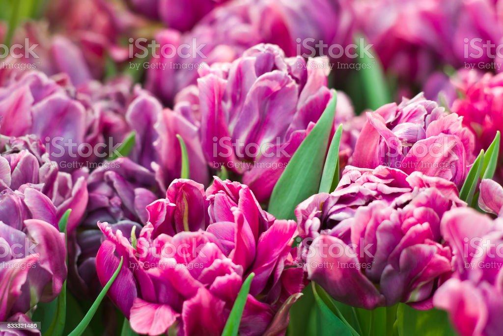 Purple double-flowering tulips stock photo