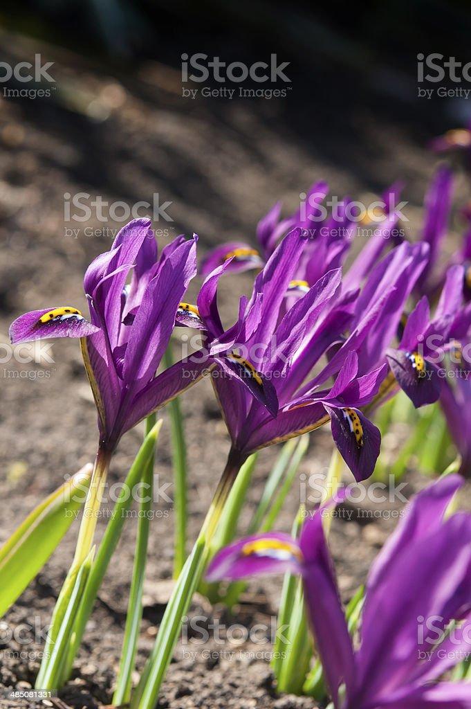 purple dwarf irises stock photo