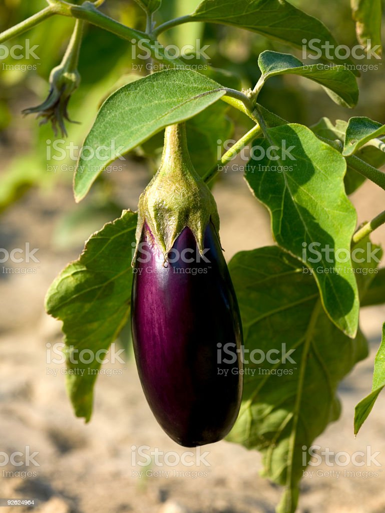 A purple eggplant still on its vine royalty-free stock photo