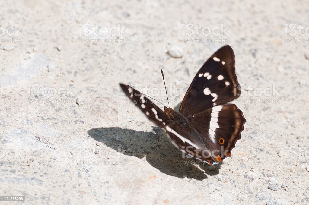 Purple Emperor butterfly (Apatura iris) resting in the sun royalty-free stock photo