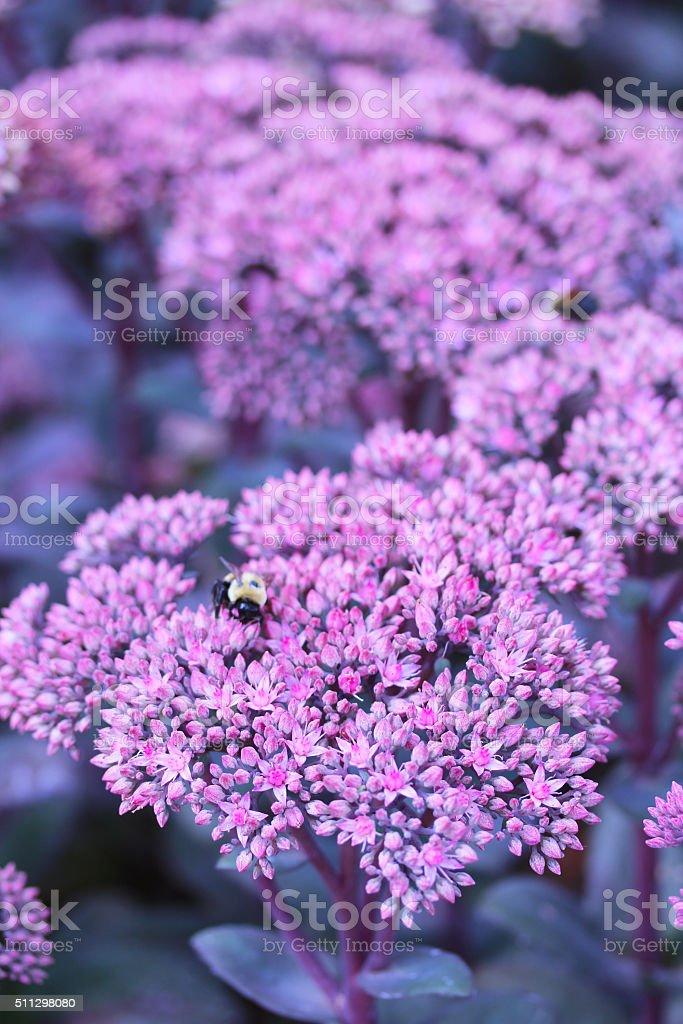 Purple Emperor Sedum stock photo