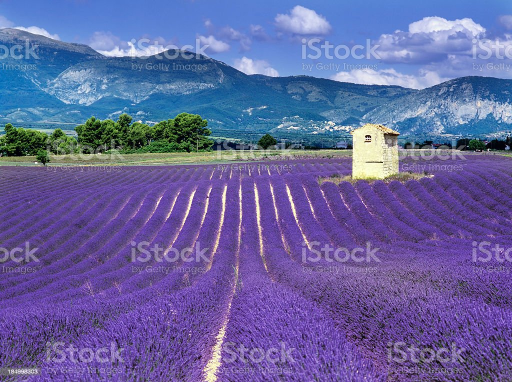 Purple fields in France with mountains behind stock photo