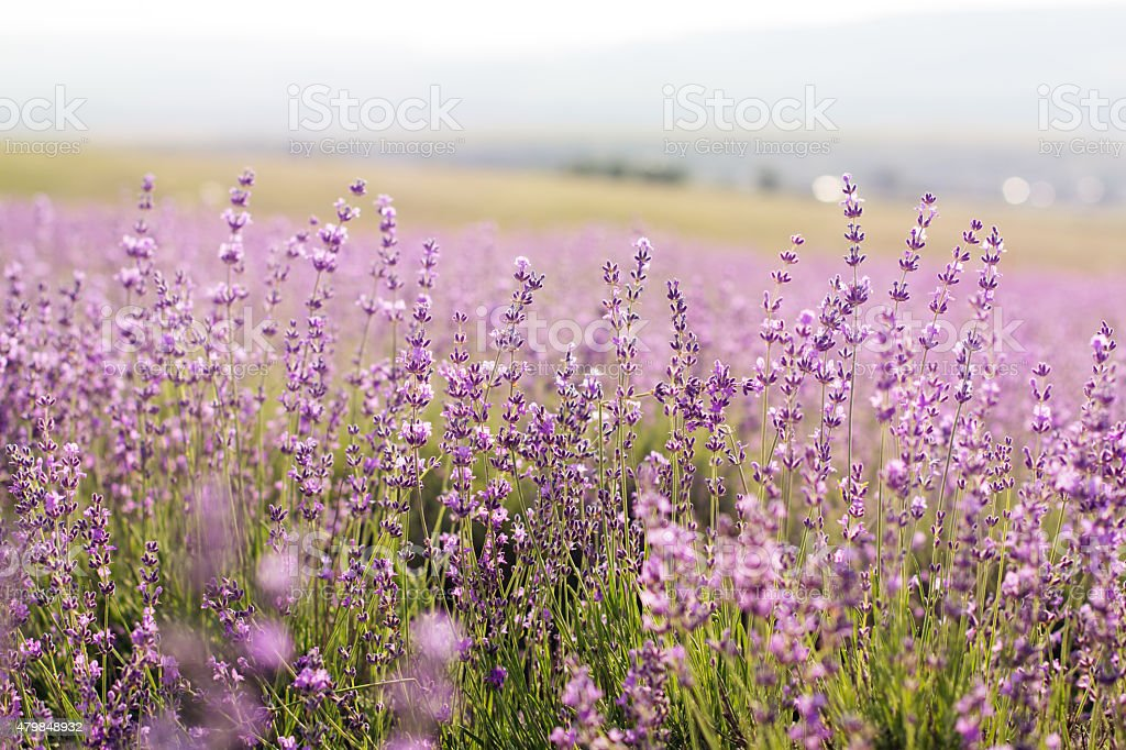Purple fields of lavender flowers, sunset time in Crimea stock photo