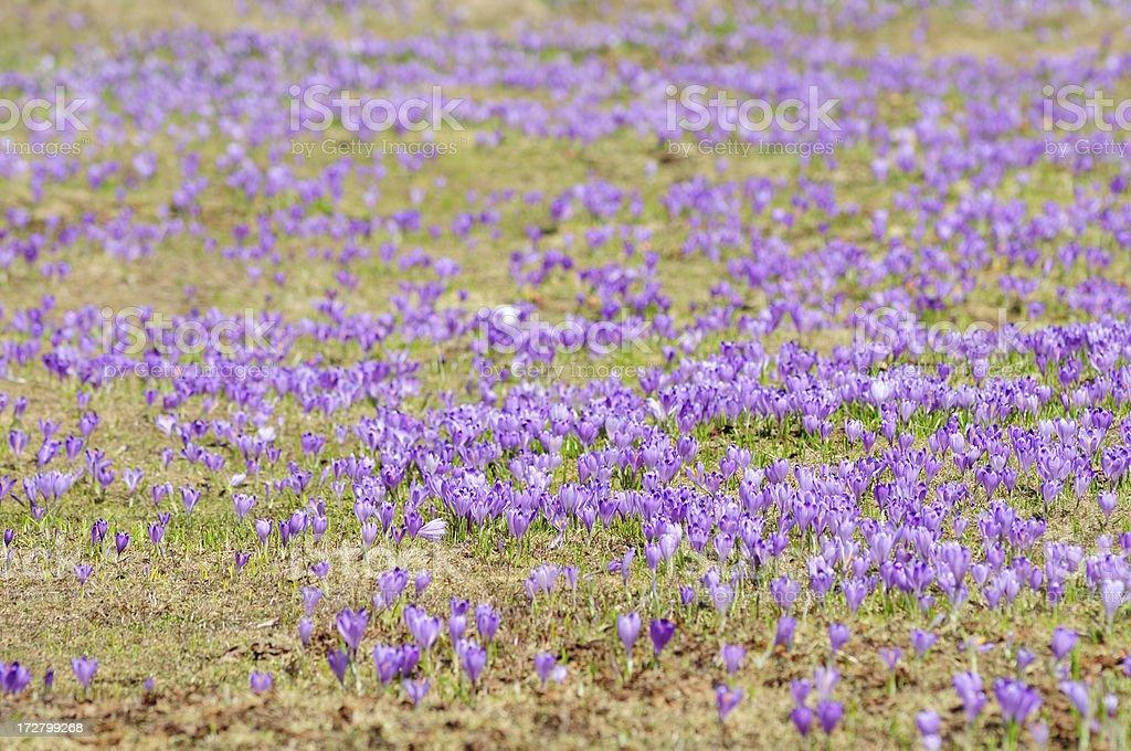Purple filed of Saffron stock photo