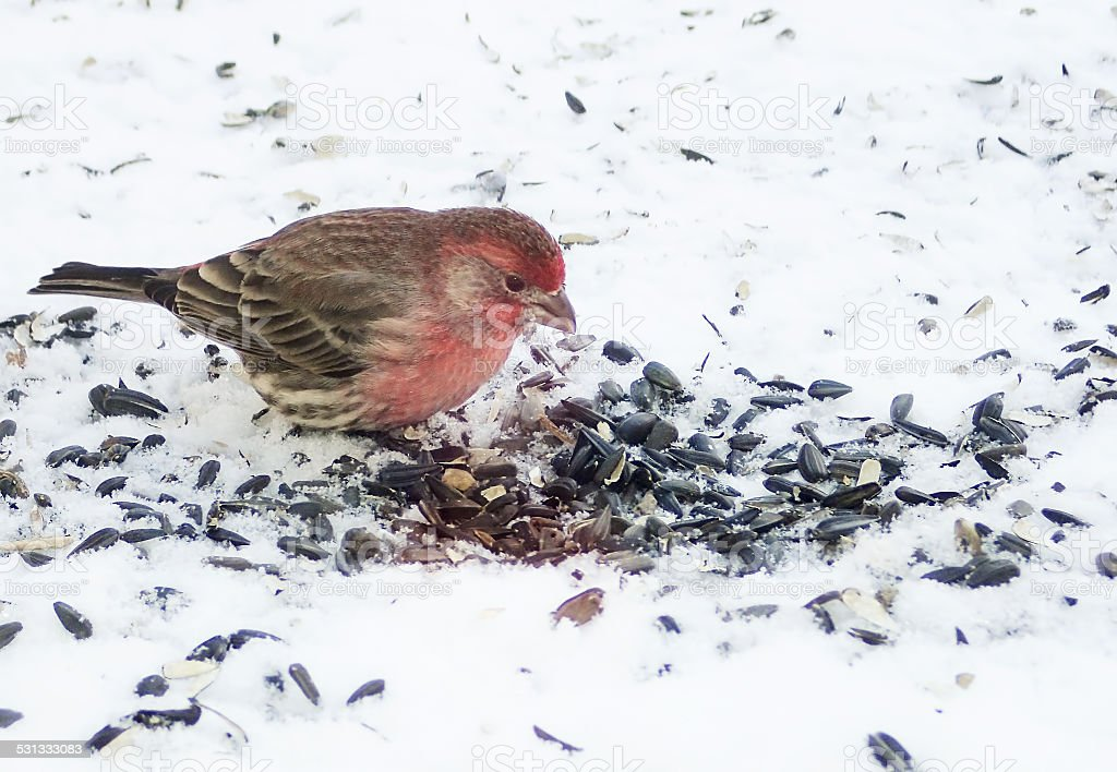 Purple Finch in Snow stock photo