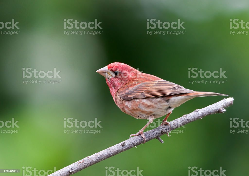 Purple Finch - Male stock photo