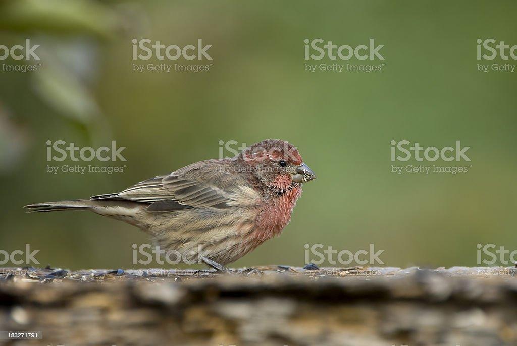 Purple Finch stock photo