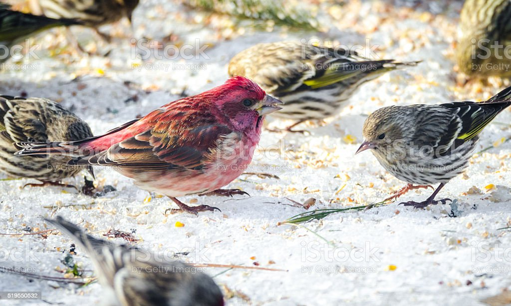 Purple Finches (Haemorhous purpureus) and other birds of spring. stock photo