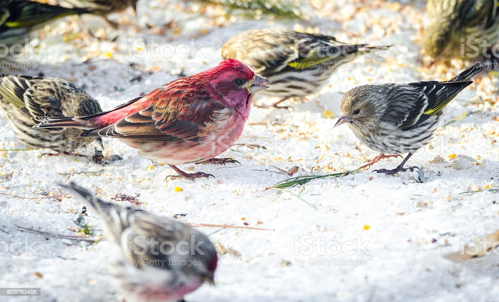 Purple finches (Haemorhous purpureus) at a feeder.  Springtime comes. stock photo