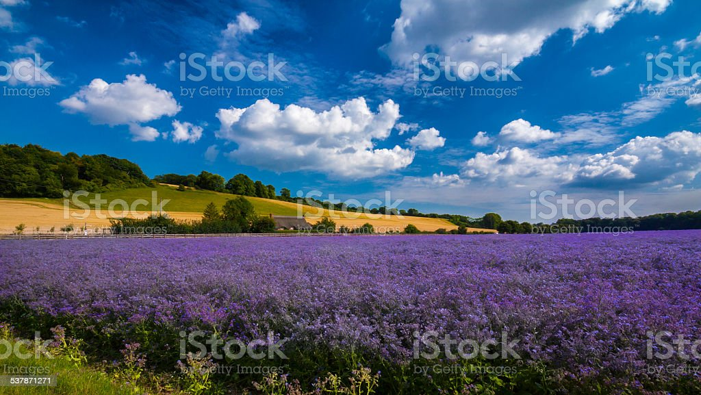 Purple Flax field in Hampshire stock photo