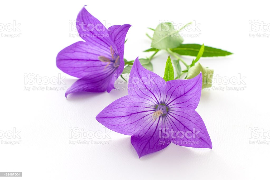 Purple flower, bud and leaves of  balloon flower or bellflowers stock photo