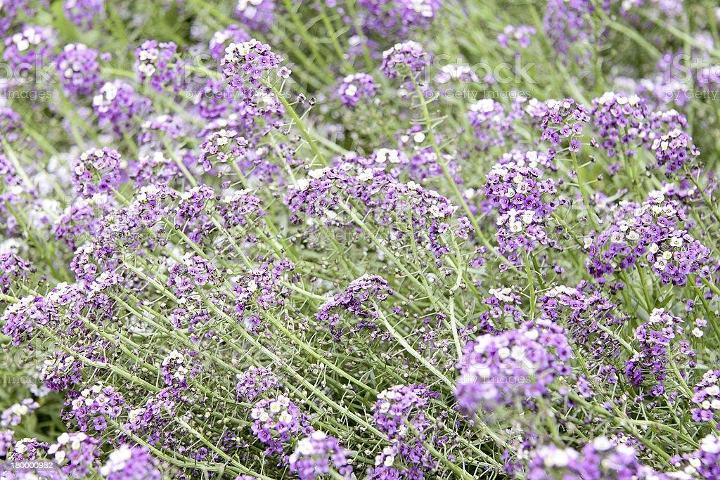 Purple flower carpet royalty-free stock photo