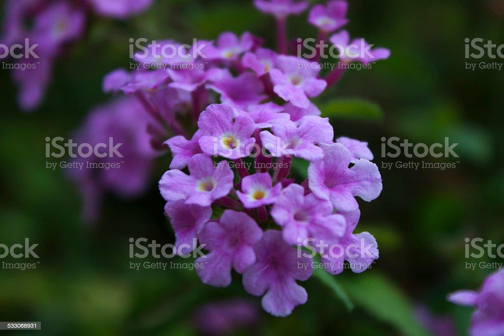 Purple Flower Cluster stock photo