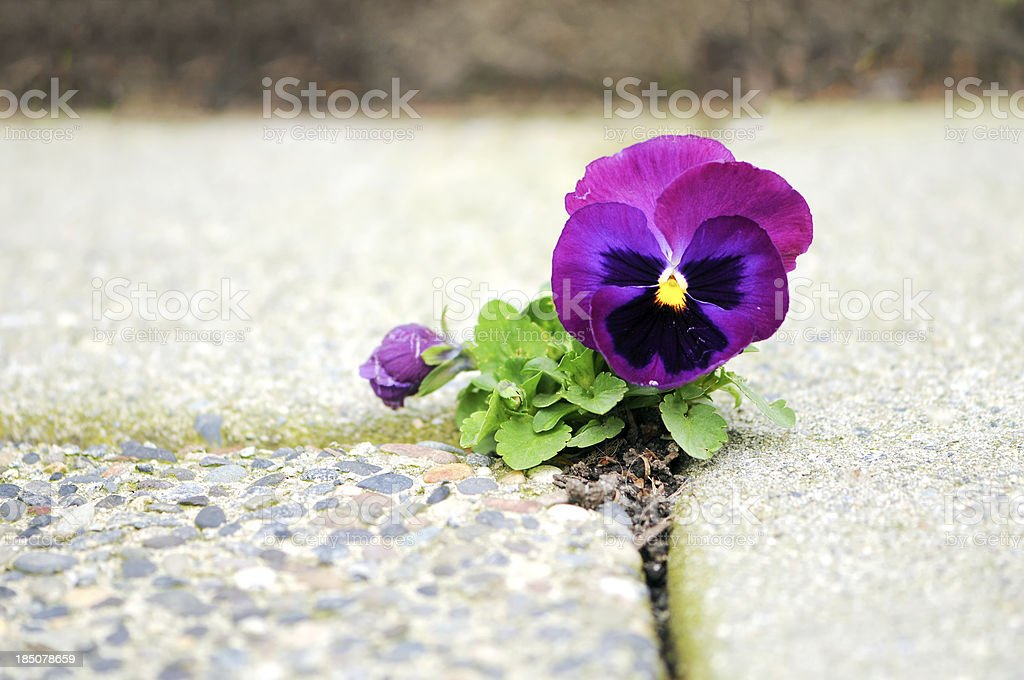 Purple Flower Growing in Crack of Cement stock photo