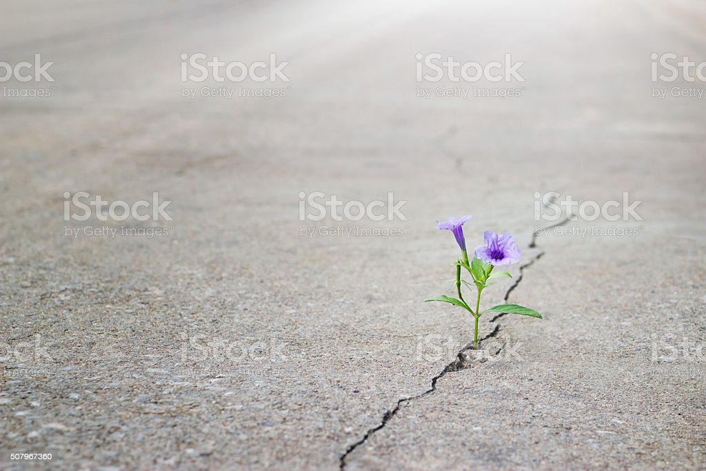 purple flower growing on crack street, soft focus stock photo