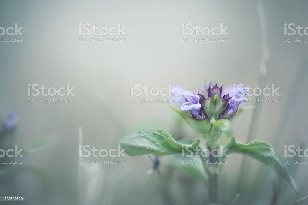 Purple flower in foggy day stock photo