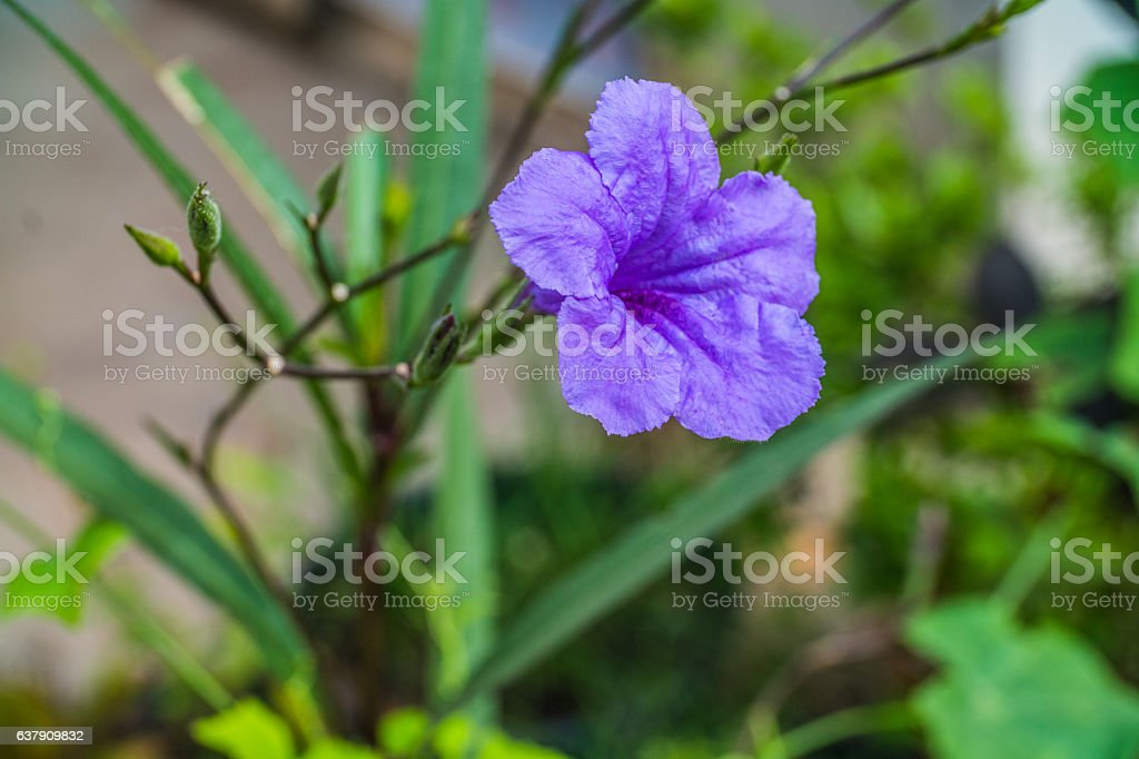 purple flower in the garden, Waterkanon stock photo