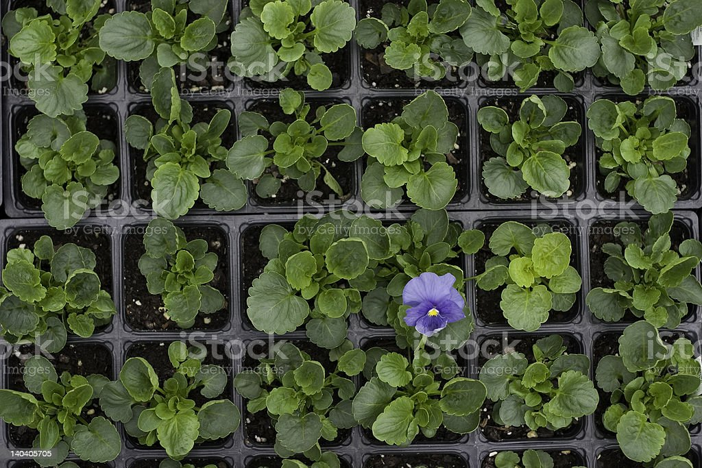 Purple flower in the middle of green leaves royalty-free stock photo