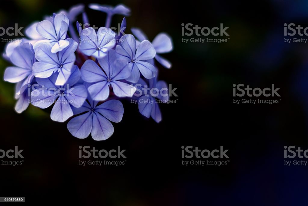 purple flower isolated on black stock photo