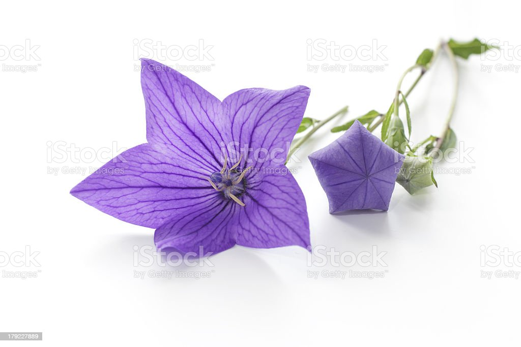 Purple flower, (Platycodon grandiflorus) isolated on white background stock photo