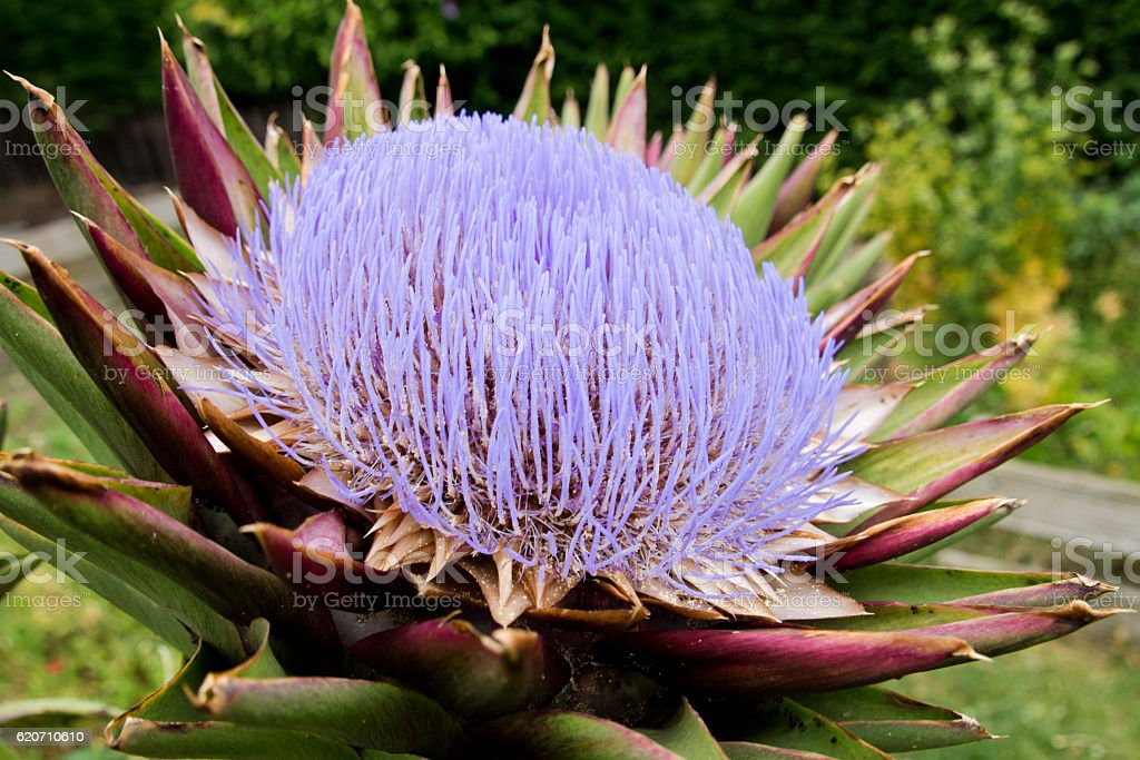 Purple flower of an artichoke stock photo
