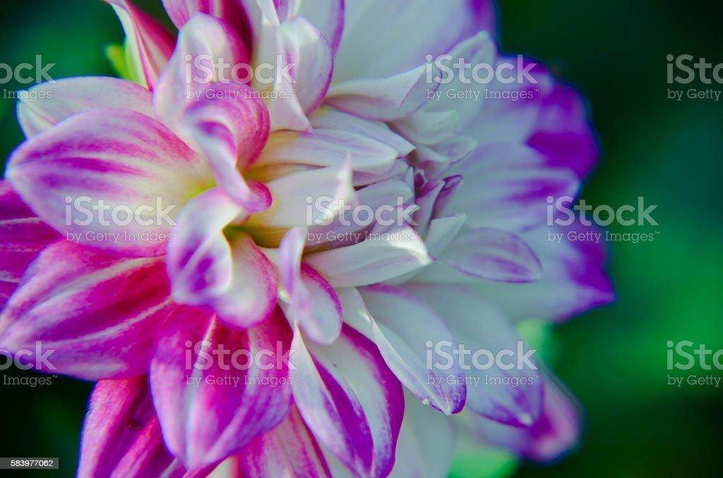 Purple flower of an aster in spring Ukraine stock photo
