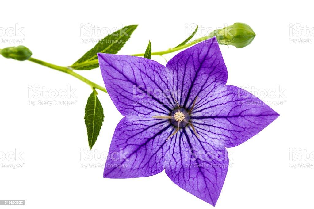 Purple flower of Platycodon (Platycodon grandiflorus) or bellflo stock photo