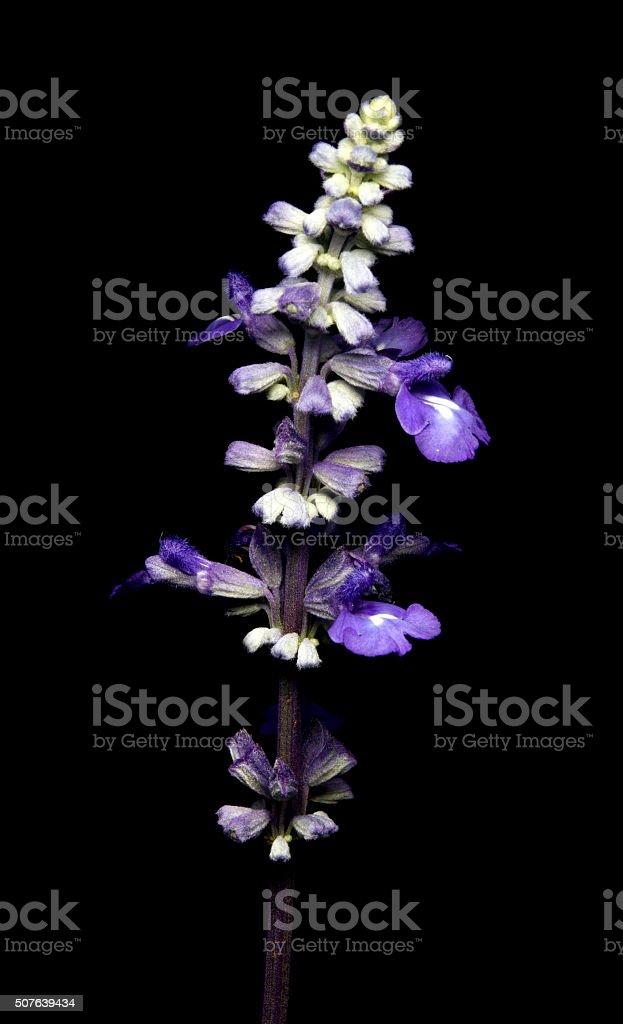purple flower on black background stock photo